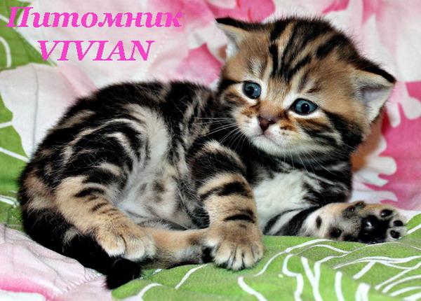 Фото 1/2. Британские котята черный мрамор из питомника
