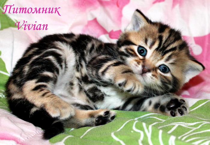 Фото 2/2. Британские котята черный мрамор из питомника