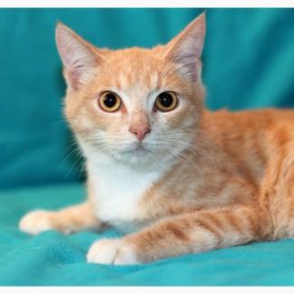 Котенок кремовый рыжик Носик в дар