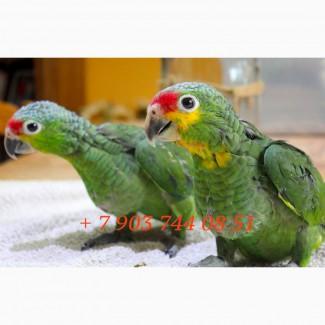 Краснолобый амазон (Amazona autumnalis) - птенцы выкормыши из питомников Европы