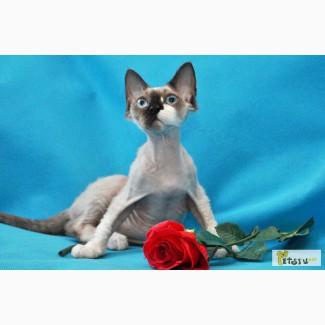 Девон Рекс котята 3, 5 мес.привиты, с документами