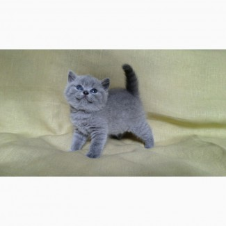 Британские котята голубого окраса