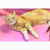 Молодой рыжий котик - генератор радости, в дар