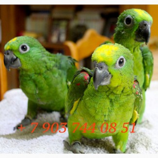 Желтолобый амазон (Amazona ochrocephala ochrocephala ) - птенцы выкормыши