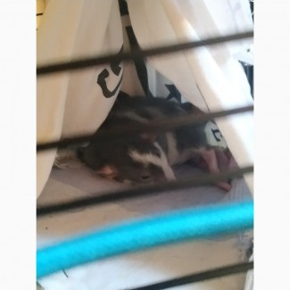 Крысенок