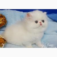 Персидский котенок белого окраса