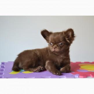 Чихуахуа шоколадные щенки