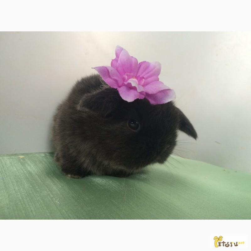 Фото 3/8. Продажа декоративных вислоухих карликовых кроликов английской породы Miniature Lop