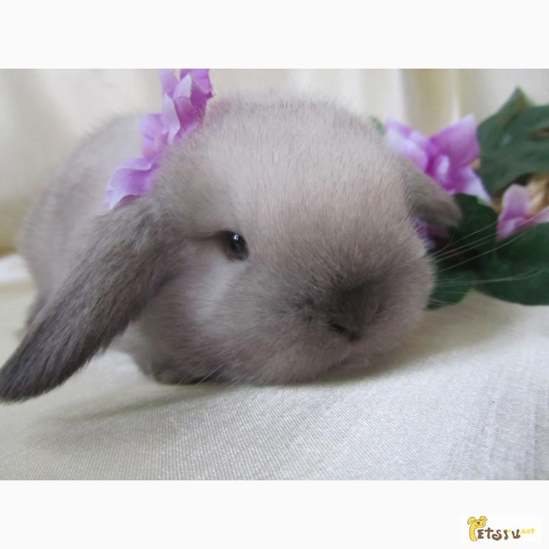 Фото 1/8. Продажа декоративных вислоухих карликовых кроликов английской породы Miniature Lop