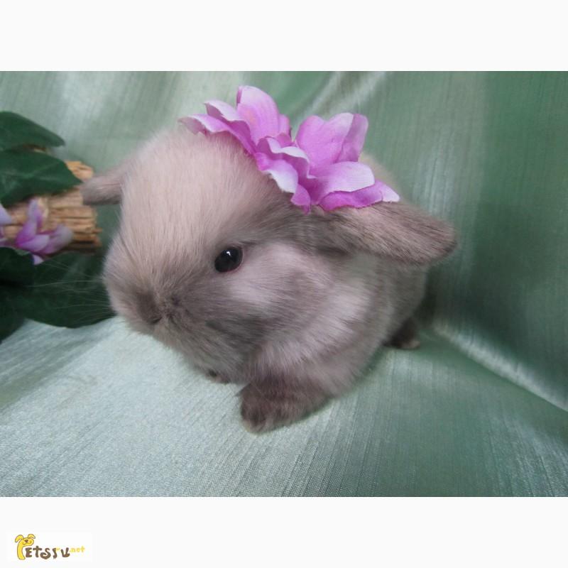 Фото 2/8. Продажа декоративных вислоухих карликовых кроликов английской породы Miniature Lop