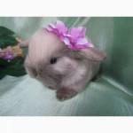 Продажа декоративных вислоухих карликовых кроликов английской породы Miniature Lop