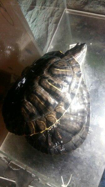 Фото 2/2. Красноухие черепахи