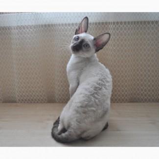 Клубный котик корниш-рекс