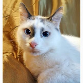 Голубоглазая Аврора тайский котёнок в дар