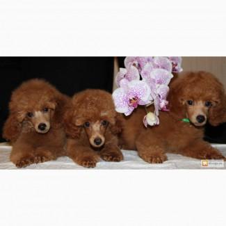 Продаю щенков красного пуделя миниатюра