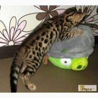 Бенгальские котята в Москве