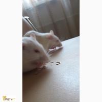 Крысы девочки в дар