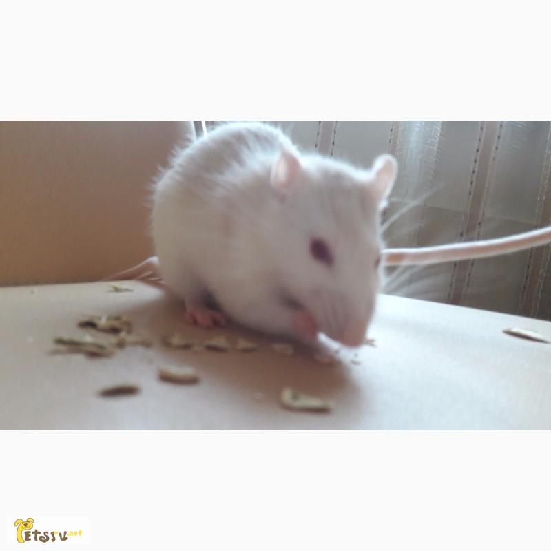 Фото 2/2. Крысы девочки в дар