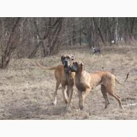 Немецкого дога щенки палевого и тигрового окраса