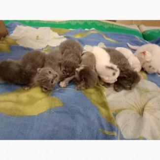Котята дымчатые и белые