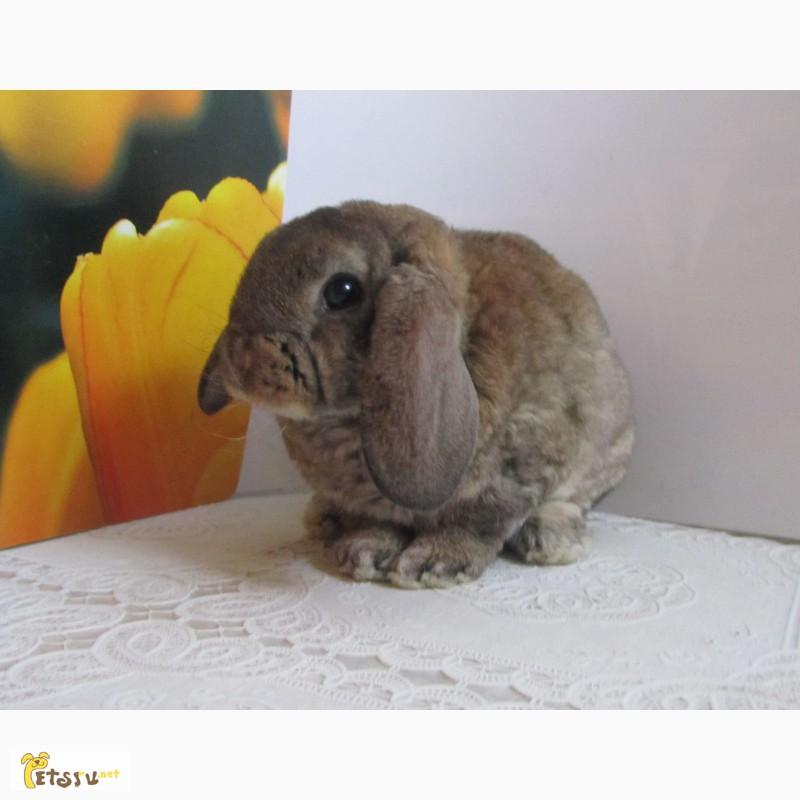 Фото 2/10. Купить карликового вислоухого кролика рекс в Москве Вы можете в питомнике Зайкина усадьба
