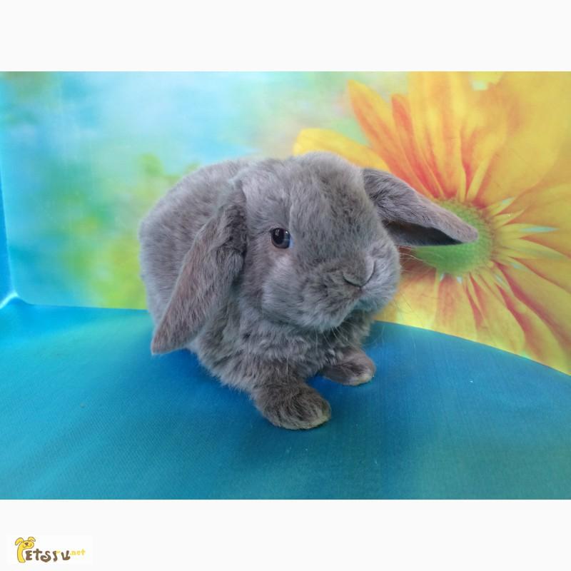 Фото 3/10. Купить карликового вислоухого кролика рекс в Москве Вы можете в питомнике Зайкина усадьба