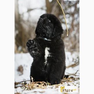 Ньюфаундленд. Черные щенки в Сергиевом Посаде