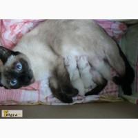 Сиамские котята в Арзамасе