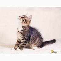 Отдам сибирских котят в дар