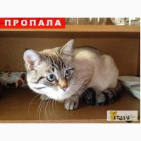 Пропал кот - метис тайской кошки
