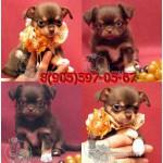 Чихуахуа уникальные щенки по реальной цене