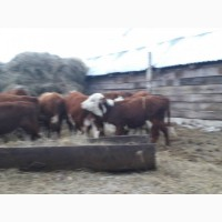 Герефорды бычки