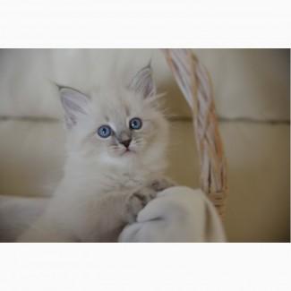 Продажа сибирских - невских маскарадных котят из питомника
