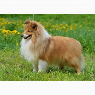 Продается щенок шелти - мальчик в Красноярске