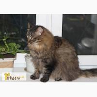 Роскошный домовитый котик Васенька, фенотип сибиряка в добрые руки