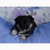 Продаю щенка пекинеса