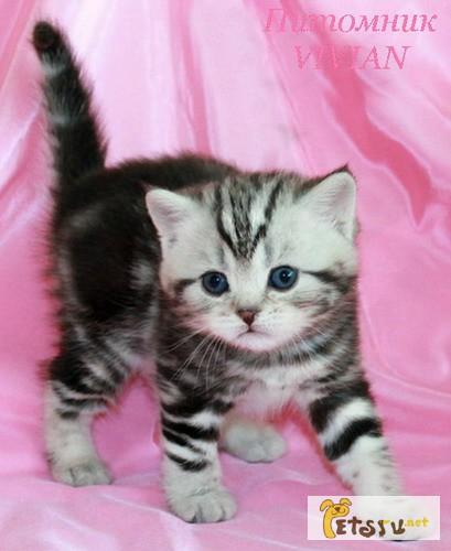 Фото 1/1. Британские котята черный мрамор на серебре из VIVIAN
