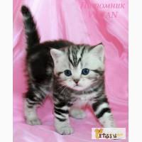 Британские котята черный мрамор на серебре из VIVIAN