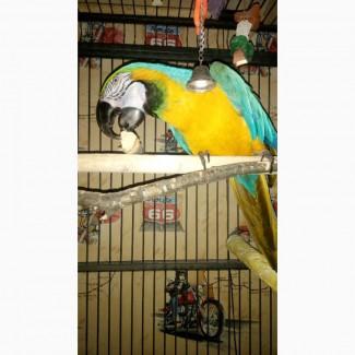 Попугая Ару возьму в хорошие руки