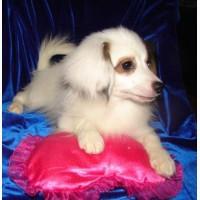 Продаются два прекрасных щенка папийона