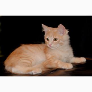 Сибирский клубный котик