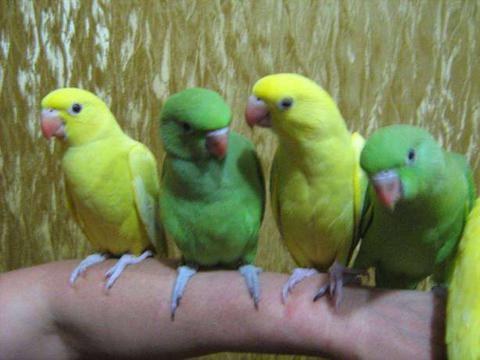 Фото 1/2. Ожереловый попугай крамера