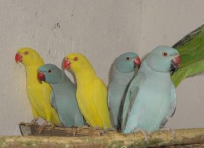 Фото 2/2. Ожереловый попугай крамера