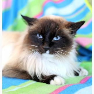 Невероятной красоты кошка Юнона в дар
