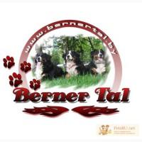 Питомник Бернских Зенненхундов Berner Tal предлагает щенков