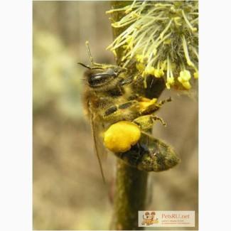 Зимовалые пчелосемьи продам (МО)