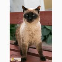 Сиамский котик Сёма в поисках родителей