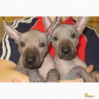 Мексиканская голая собака щенки