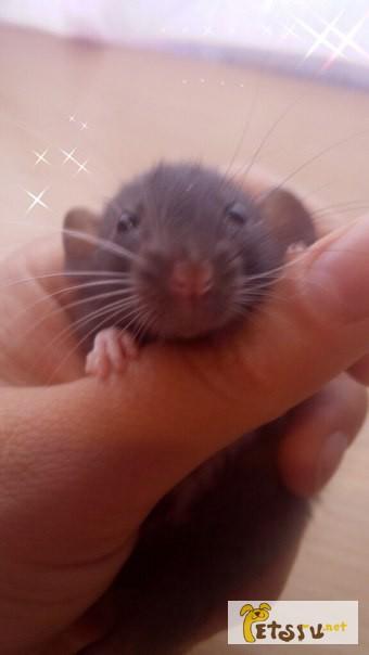 Фото 1/3. Дамбо крысята