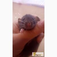 Дамбо крысята